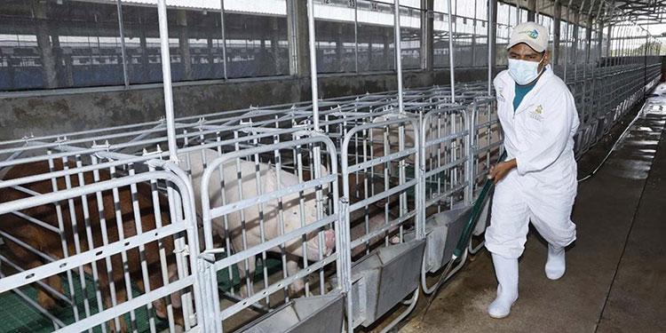 La iniciativa garantiza el suministro de un nuevo pie de cría de alta calidad genética a los porcicultores de Honduras.