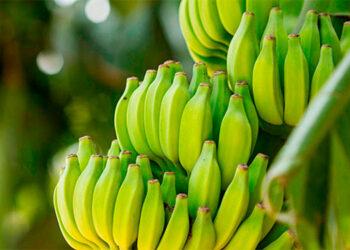 Un promedio de 2,550 plantas por hectárea se han resembrado en las fincas bananeras de Colón.