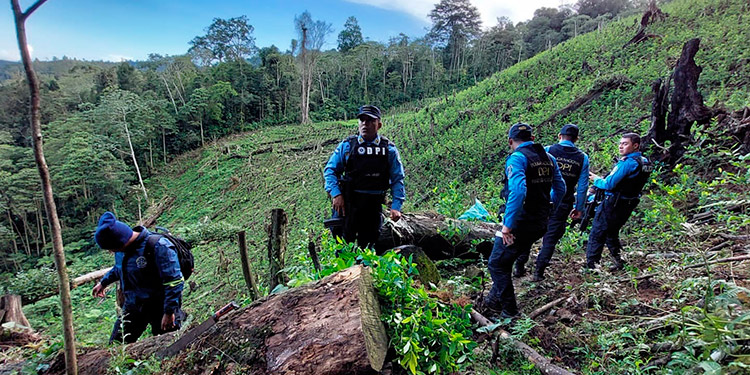 Autoridades policiales dieron con la plantación de arbustos de coca, en la zona de El Encanto, Trojes.