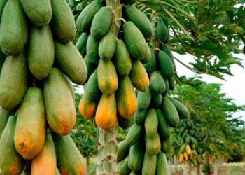 Nombre Científico: Carica papaya.