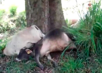 Los animales quedaron inertes sobre las raíces del árbol, alcanzadas por el voltaje del rayo.