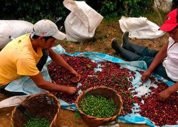 De acuerdo con el Instituto Hondureño del Café, en la actual cosecha se proyecta recolectar unos 7.5 millones de quintales de café.