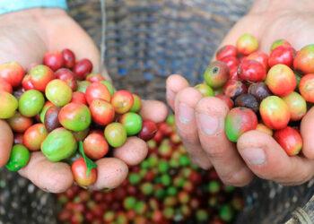 El café sigue siendo la primera fuente de divisas por ventas al extranjero del país centroamericano, el mayor exportador del grano de Centroamérica.