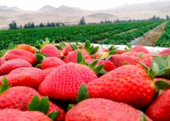 Los primeros 250 hondureños viajarán de forma legal específicamente a la ciudad de Huelva, para desempeñarse en labores agrícolas.