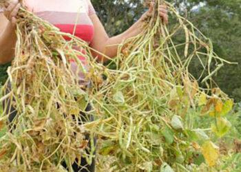 IHMA comprará unos 30 mil quintales de maíz.