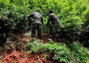 """La operación de erradicación de la plantación de coca se ejecutó en el sector de """"Quebrada El Salado"""", Iriona, Colón, dirigida por la Fuerza de Tarea Conjunta """"Xatruch""""."""