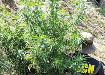 Luego del hallazgo, los operadores de justicia procedieron a erradicar la siembra de la marihuana mediante fuego.